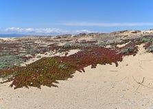 Dune di sabbia con i fiori selvaggi Immagini Stock Libere da Diritti