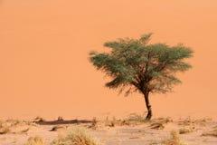 Dune et acacia Photographie stock