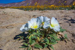 Dune Evening Primrose Stock Photography