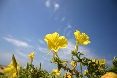 Free Dune Flowers Stock Photography - 3276942