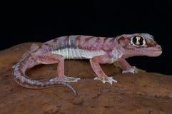 Dune gecko / Pachydactylus rangei Stock Images