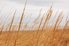Dune Grass Royalty Free Stock Image