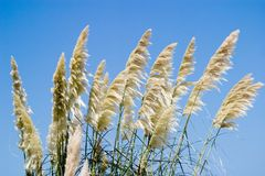 Dune Grass. On sunny day Stock Image