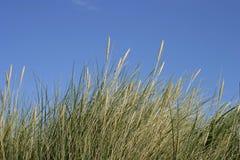 Dune grass. Green and yellow dune grass against a blue summer sky stock photos