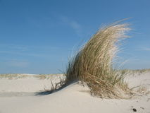 Dune grass. On a sandy beach under a blue sky Royalty Free Stock Image