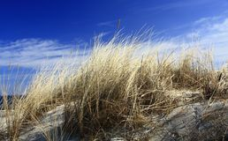 Dune grass. On a dune of the island of Usedom, Baltic Sea, Germany Stock Image