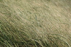 Dune Grass. In the wind at the North Sea Royalty Free Stock Image
