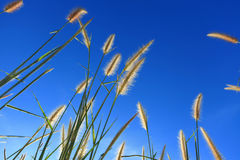 Dune Grass. And Blue Sky Royalty Free Stock Photos