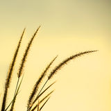 Dune Grass. On sunset background Royalty Free Stock Photo