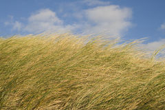 Dune grass. In the wind at a sunny afternoon in summer Royalty Free Stock Photos
