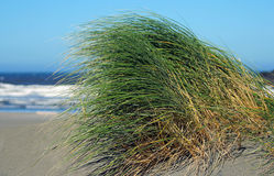Dune grass. Blowing in the wind, Oregon coast Stock Photo