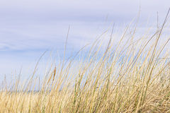 Dune grass on the Baltic Sea Stock Image