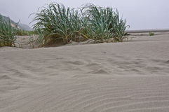 Dune Grass on Beach Dune Stock Photo