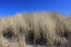 Dune Grass Royalty Free Stock Images