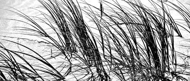 Dune grass in black and white. Close up of dune grass at the beach in black and white Stock Image