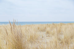 Dune grass blowing in the wind. And on the Baltic Sea Royalty Free Stock Image