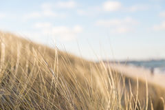 Dune grass blowing in the wind. And the background is the sea Royalty Free Stock Image