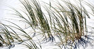 Dune grass Royalty Free Stock Photo