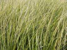 Dune grass. A close-up shot of dune grass on the shore of Lake Michigan Stock Photography