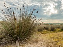 Dune grass in the Dunes d`Hattainville, Normandy Fance. Dramatic sky Stock Photo