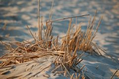 Dune grass. Dune gras on the beach Stock Photo