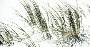 Dune grass impression. Close up of dune grass at the beach Royalty Free Stock Images