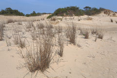 Dune Grass at Jockey Ridge State Park Stock Photography