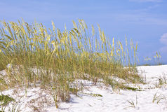 Dune grass near the beach Royalty Free Stock Photography