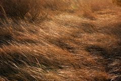 Dune Grass in the Wind 2. Dune Grass sways in a stiff wind at Bethany Beach Delaware Royalty Free Stock Photography