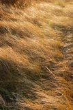 Dune Grass in the Wind. Dune grass sways in a stiff wind at Bethany Beach, Delaware Stock Image
