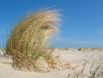 Dune grass in the wind. Dune grass on a beach in the wind Royalty Free Stock Images