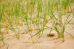 Dune grasses Royalty Free Stock Photos