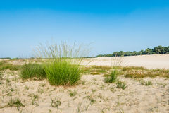 Dune landscape with flowering Purple Moor Grass Royalty Free Stock Images
