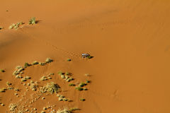 Dune oryx. Oryx goes down the Sossusvlei dunes to eat some plants stock image