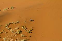 Dune oryx Stock Image