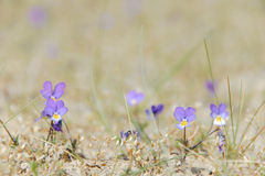 Dune pansy Stock Images