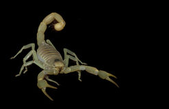 Dune Scorpion Royalty Free Stock Image