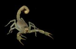 Dune Scorpion. (Buthus Occitanus) isolated on black background Royalty Free Stock Image