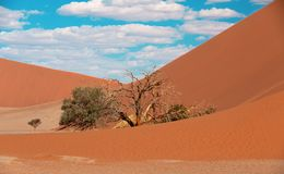 Dune 45 in Sossusvlei, Namibia desert. With dead acacia tree. Namibia wilderness stock images