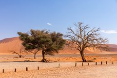 Dune 45 in Sossusvlei, Namibia desert. With dead acacia tree. Namibia wilderness royalty free stock photography