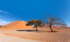 Dune 45 in Sossusvlei, Namibia desert. With dead acacia tree. Namibia wilderness royalty free stock photo