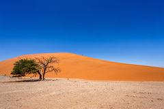 Dune 45 in sossusvlei Namibia with green tree. Best of Namibia landscape Royalty Free Stock Image