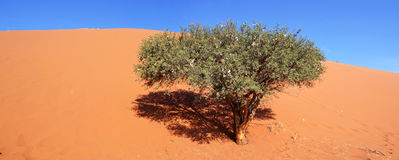 Dune45. Dune 45 is a star dune in the Sossusvlei area of the Namib Desert in Namibia Stock Images