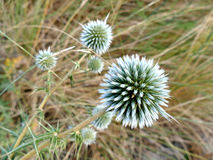 Dune thistle close up with defocused background Royalty Free Stock Photo