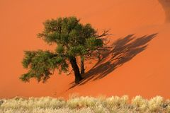 Dune, tree and grass, Sossusvlei, Namibia. Red sand dune with an African Acacia tree and desert grasses, Sossusvlei, Namibia, southern Africa Stock Photo