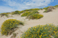 Dune vegetation Royalty Free Stock Image