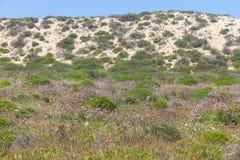 Dune vegetation in Queimado beach,  Vila Nova de Milfontes Royalty Free Stock Photography