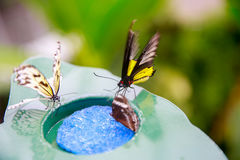 DUNEDIN, NEW ZEALAND - FEBR 10, 2015: butterflies eating from a plate with blue plastic scrubber Royalty Free Stock Image