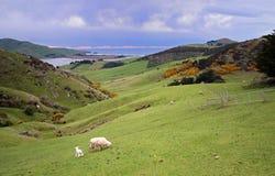 Dunedin Peninsular. Farm on the Dunedin Peninsular in New Zealand Royalty Free Stock Photography