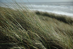 In the dunes. Grass in the dunes stock photography
